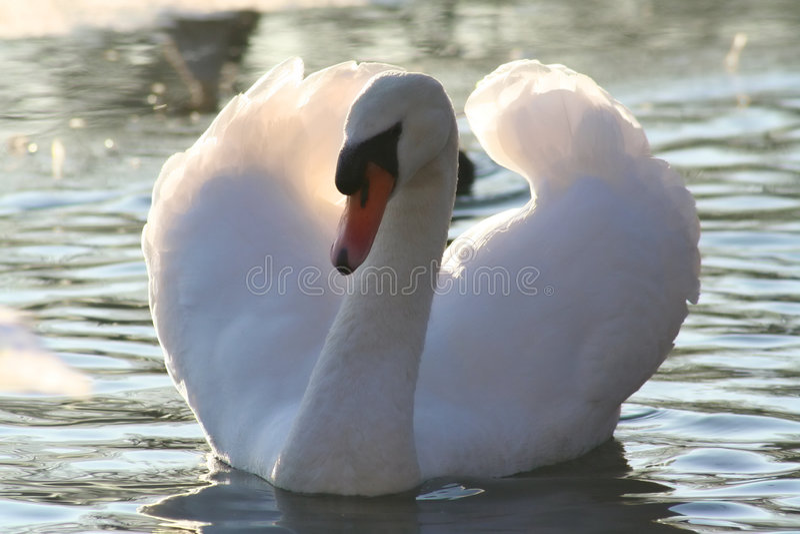 Beautiful mute swan stock images