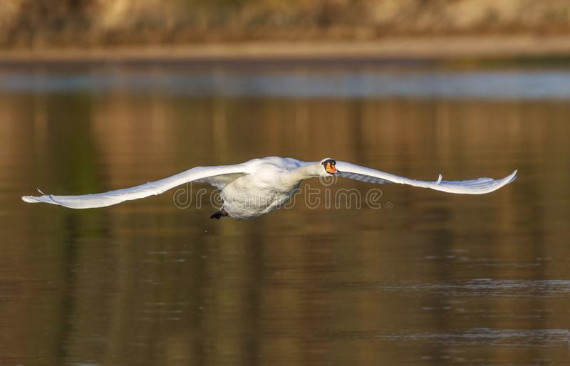 The Low Flying Mute Swan. A beautiful mute Swan flying along a river on a winters morning royalty free stock photography