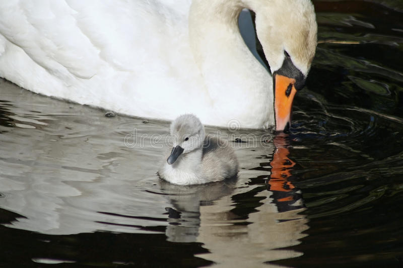 Beautiful Mute Swan with her 3 day old baby cygnet stock photo