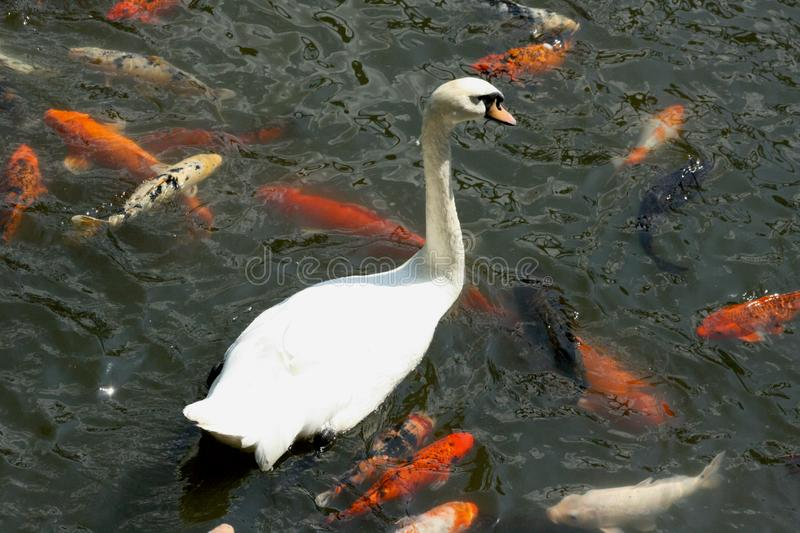 Swan and Koi stock images
