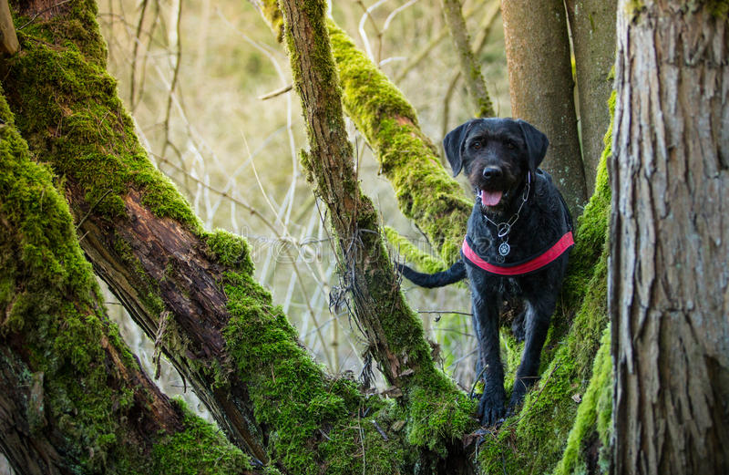 Beautiful mutt black dog Amy in forest stock image