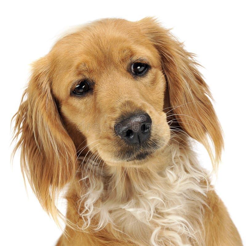 Beautiful mutt dog portrait studio shoot in white studio stock image