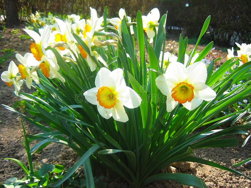 Beautiful narcissus, daffodil. Beautiful narcissus daffodil in the garden white yellow royalty free stock images