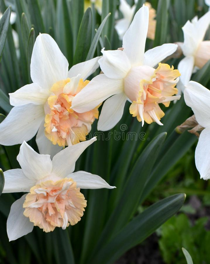 Beautiful narcissus flowers. Spring beautiful flowers narcissus nature royalty free stock image