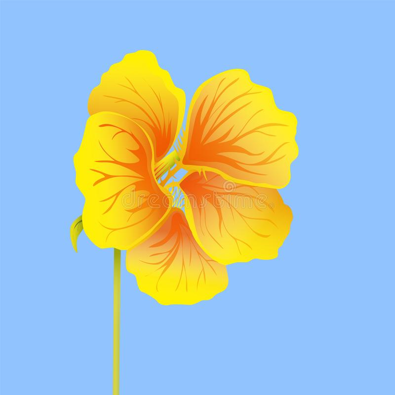 Beautiful nasturtium isolated on blue background. Yellow and orange bright flower. Botanical realistic art. Hand drawn detailed vector illustration