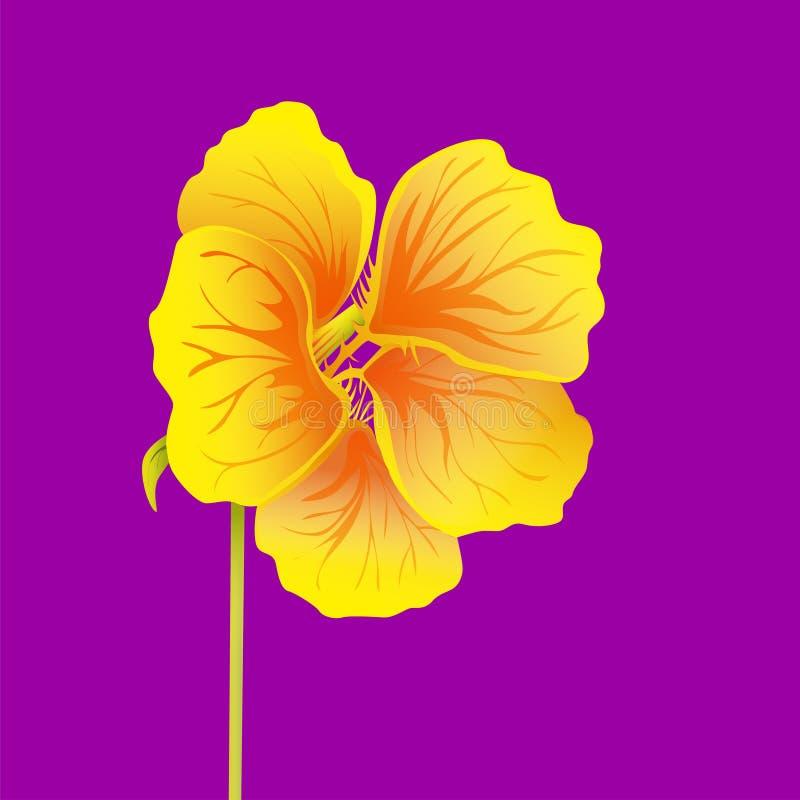 Beautiful nasturtium isolated on bright purple background. Yellow and orange bright flower. Botanical realistic art. Hand drawn royalty free illustration