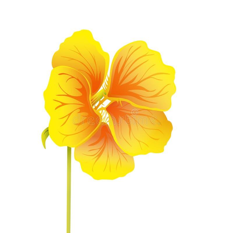 Beautiful nasturtium isolated on white background. Yellow and orange bright flower. Botanical realistic art. Hand drawn detailed vector illustration