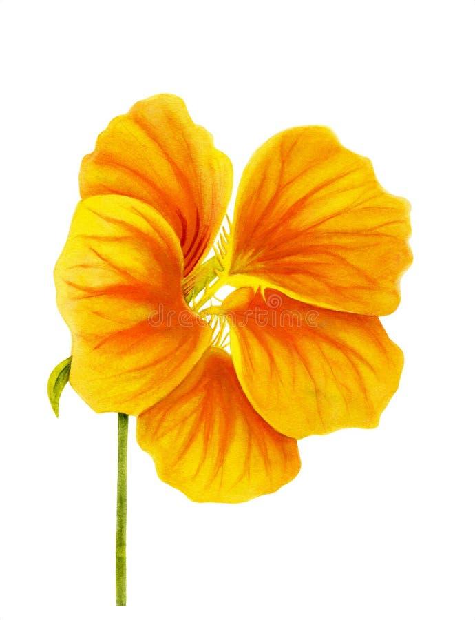 Beautiful nasturtium isolated on white background. Yellow and orange bright flower. Botanical realistic art. Watercolor painting. royalty free illustration