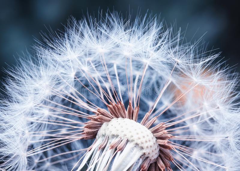 Beautiful natural background of airy light dandelion flower with royalty free stock photo