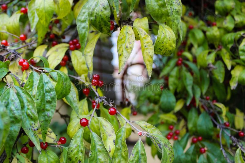 Branches of wood with multicolored leaves and red berries royalty free stock images
