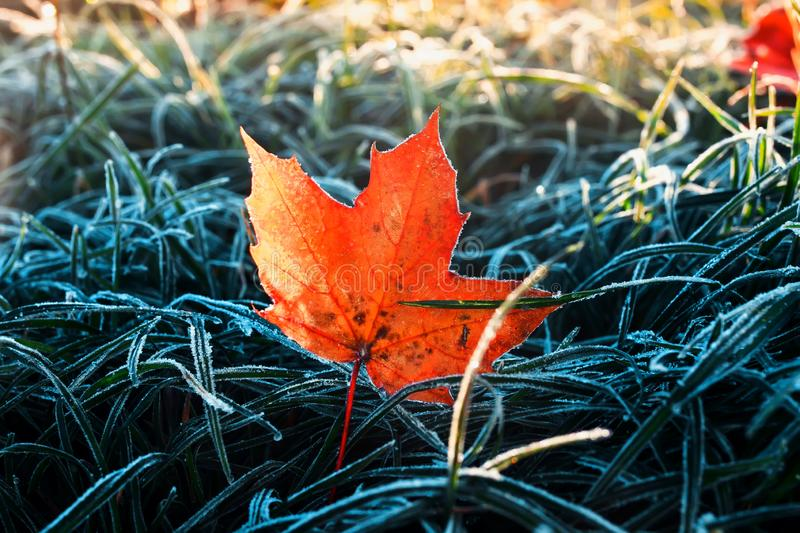 Beautiful natural background on a bright red maple leaf lies in the grasses covered with white cold frost crystals and Sunny royalty free stock photos