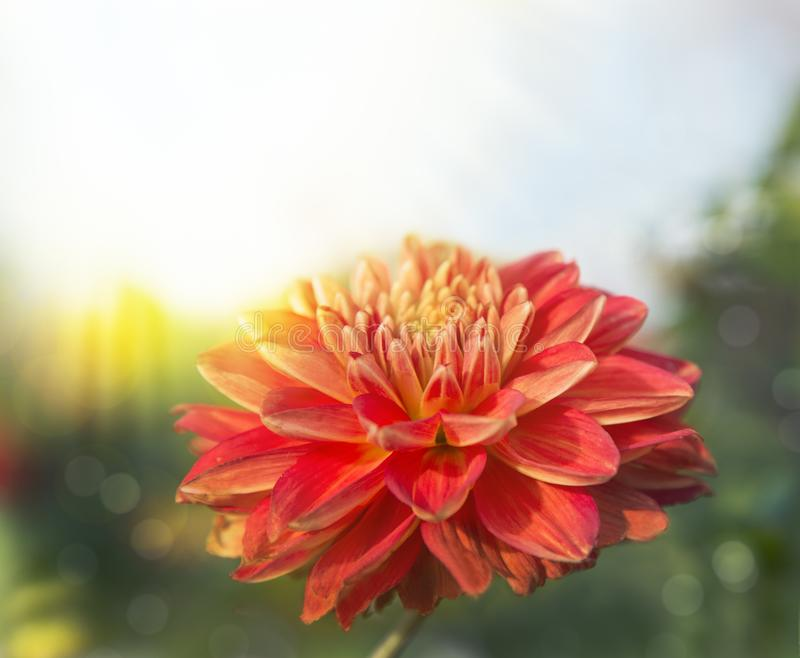 Beautiful natural background with dahlia close-up stock photo