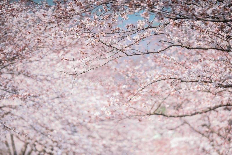 Beautiful natural background of Japanese spring and blooming sakura trees. stock image