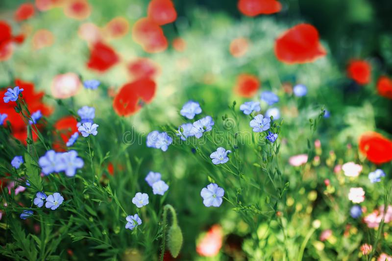 Beautiful natural background with small buds of blue flax and red and flowers poppies grow in a bright Sunny summer meadow stock photos