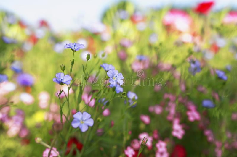 Beautiful bright natural background with small buds of blue flax and red and pink flowers grow in a bright Sunny summer meadow stock photography