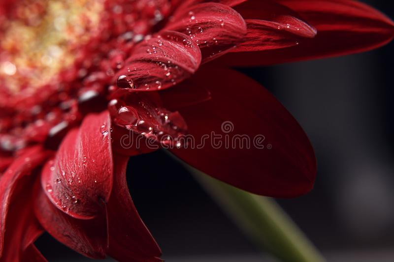 Beautiful natural background. Summer, spring concepts. Abstract of a red Gerber daisy macro with water droplets on the petals royalty free stock images