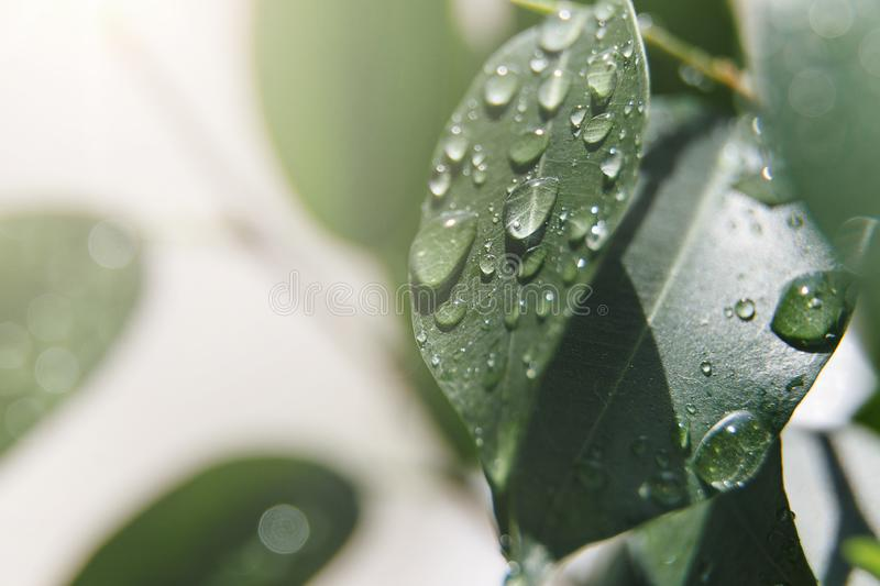 Beautiful natural background. Summer, spring concepts. Big beautiful water drops on fresh leaves in the gentle rays of the warm su. N. Copy space. Template for royalty free stock photos