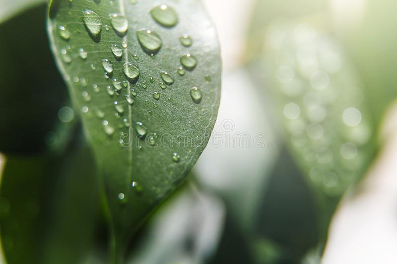 Beautiful natural background. Summer, spring concepts. Big beautiful water drops on fresh leaves in the gentle rays of the warm su. N. Copy space. Template for stock photography