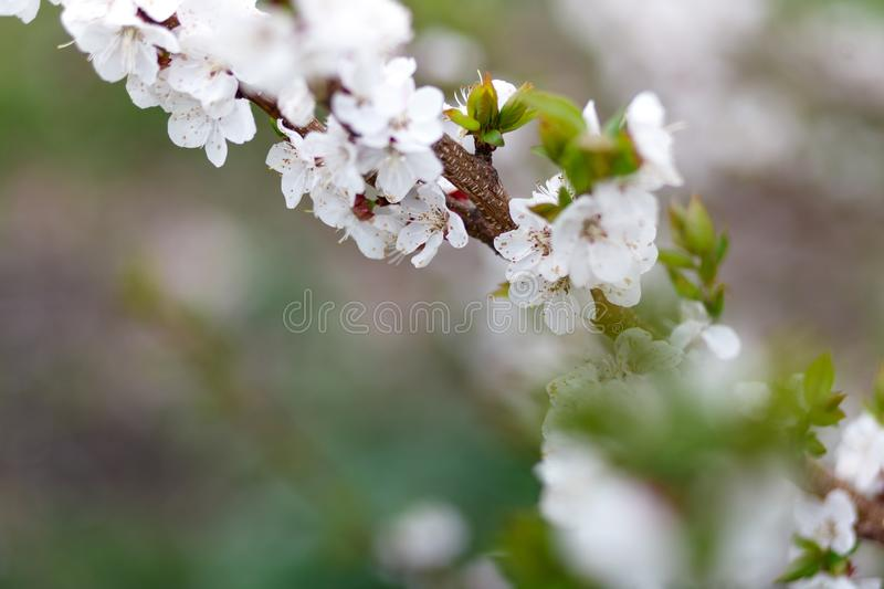 Beautiful natural background. Summer, spring concepts. Fresh cherry flowers in the gentle rays of the warm sun. Copy space. Template for design. Soft focus stock photography