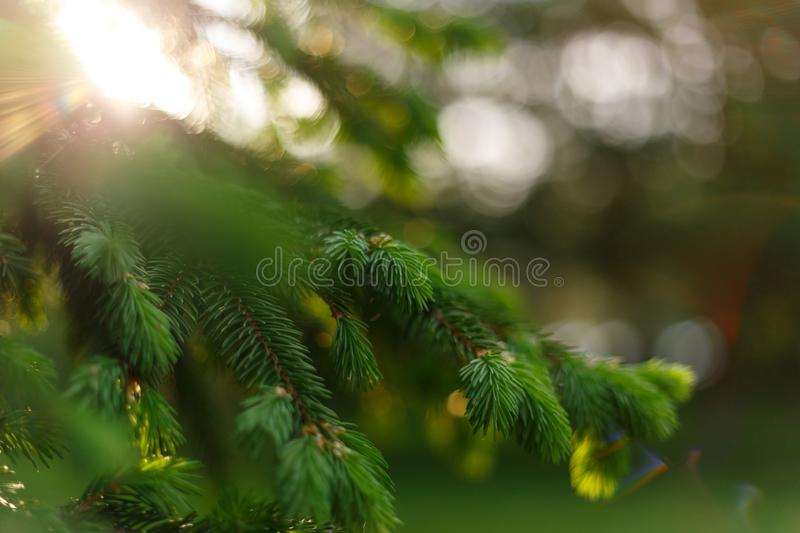 Beautiful natural background. Summer, spring concepts. Fresh fluffy fir branches in the gentle rays of the warm sun. Copy space. Template for design. Soft stock photography