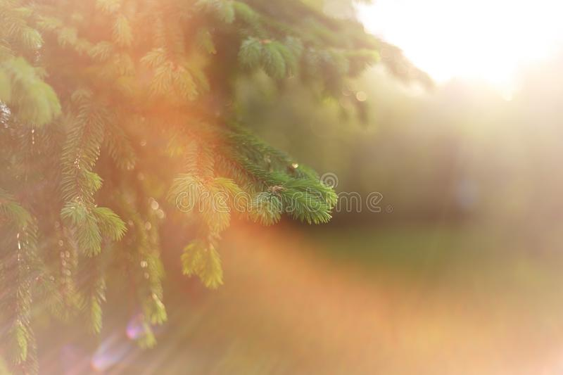 Beautiful natural background. Summer, spring concepts. Fresh fluffy fir branches in the gentle rays of the warm sun. Copy space. Template for design. Soft stock photos