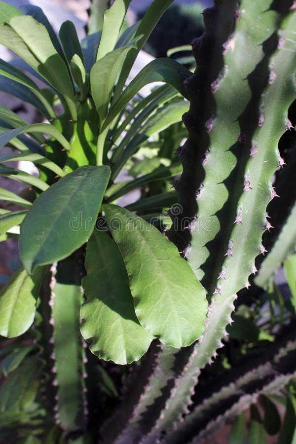 The beautiful and natural cactus plants photograph stock image