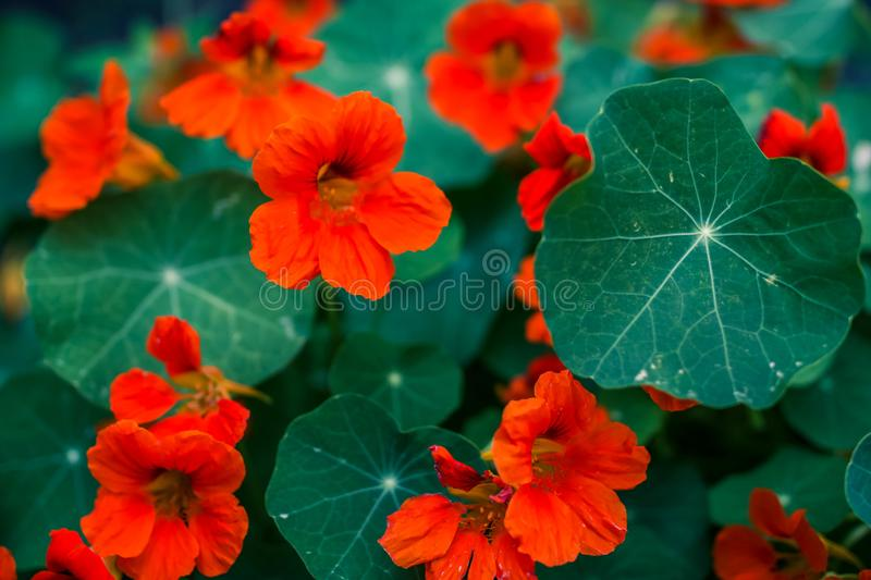 Orange flowers and green leaves royalty free stock images