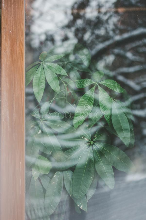 Beautiful natural green background from pachira leaves stock photography