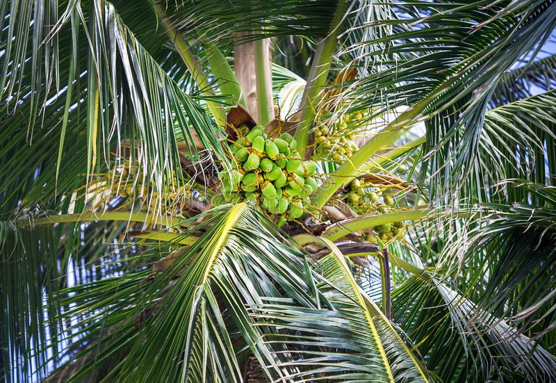 Beautiful natural green coconat fruit on palm tree in the sunny summer day. Healthy fresh food outside Kenya, Africa. Close up. Beautiful natural green coconat royalty free stock images