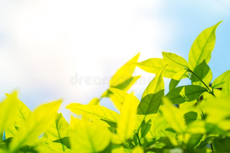 Beautiful natural green leaf and blue sky with flare light effect background and copyspace. Green leaf and natural background concept - Beautiful natural green royalty free stock photos