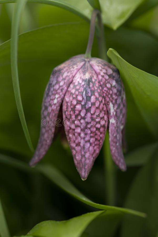 Beautiful natural history portrait image of Snake Head Fritillary Fritillaria Meleagris in bright Spring sunshine royalty free stock images