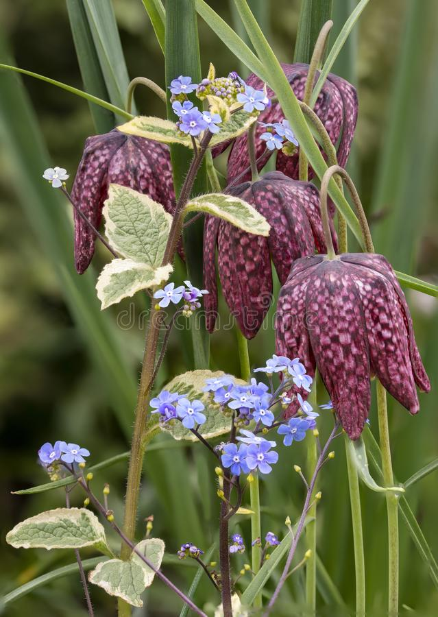 Beautiful natural history portrait image of Snake Head Fritillary Fritillaria Meleagris in bright Spring sunshine stock photography