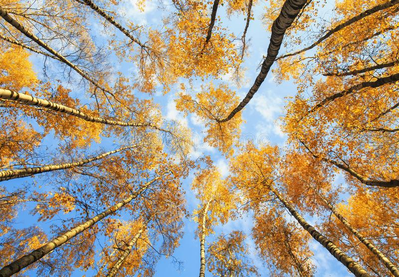 beautiful natural view from below on the crown of birch with Golden bright foliage against the blue sky in the autumn Park stock photo