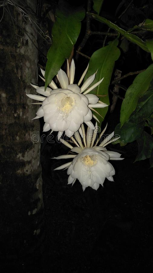 Beautiful natural white color Epiphyllum oxypetalum flowers of srilanka. This is beautiful natural white color Epiphyllum oxypetalum flowers of srilanka and this stock photos