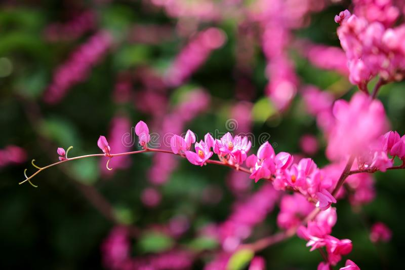 Beautiful natural wild flower blossom in spring bright pink color.  stock photos