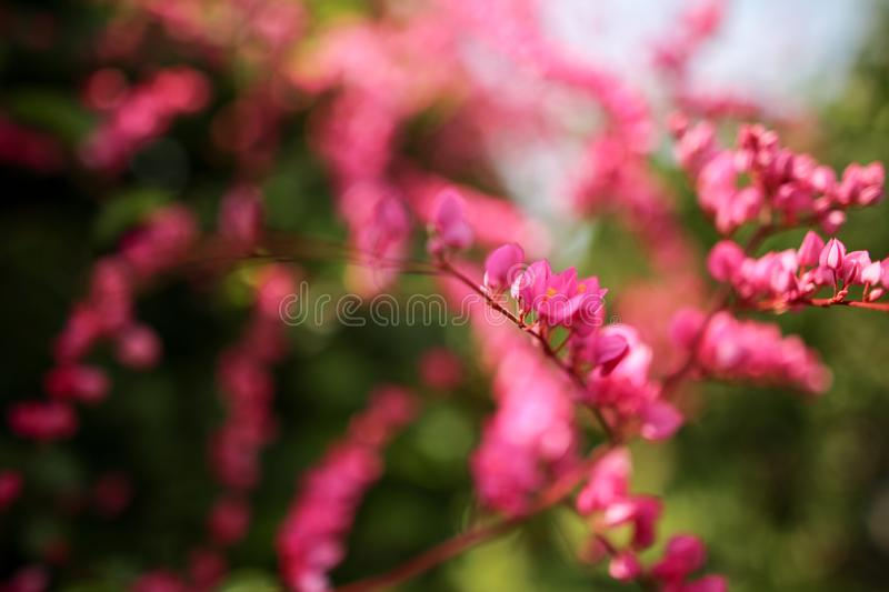 Beautiful natural wild flower blossom in spring bright pink color.  stock photography