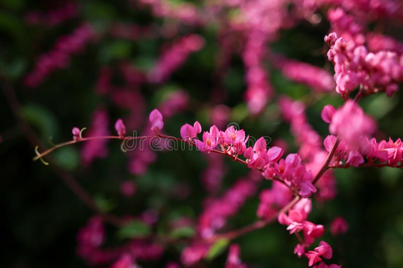 Beautiful natural wild flower blossom in spring bright pink color.  stock photo