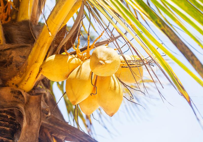 Beautiful natural yellow coconat fruit on palm tree in the sunny summer day. Healthy fresh food outside Kenya, Africa. Close up. Beautiful natural yellow coconat stock images