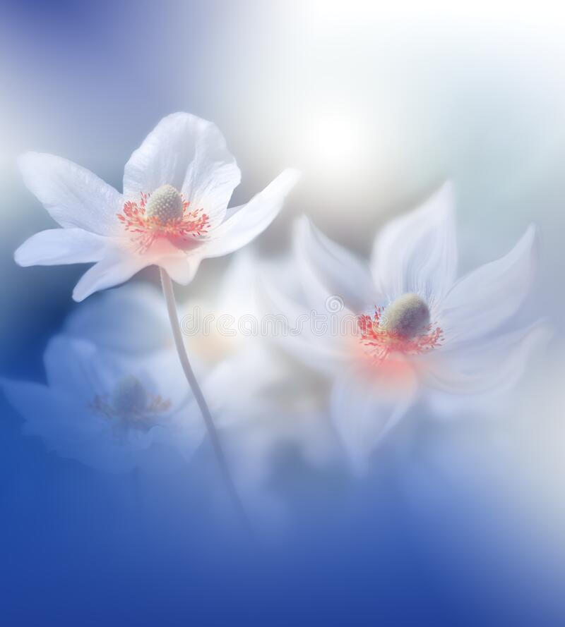 Beautiful Nature Background.Abstract Wallpaper.Celebration,love.Holidays.White Background.Blue Color.Artistic Flowers.Art Design. Incredibly beautiful Nature royalty free stock photo