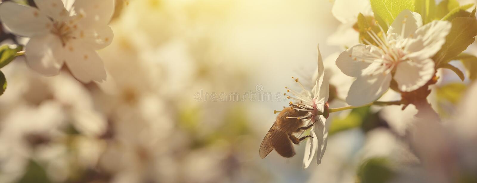 Beautiful nature background with blooming cherries and a bee. Spring flowers. Beautiful Orchard Abstract blurred background. stock image