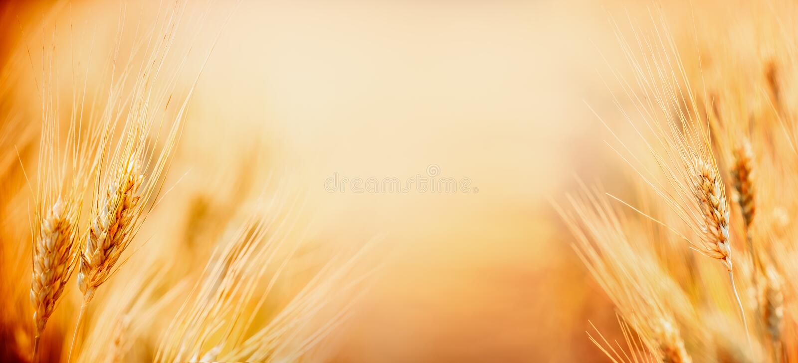 Beautiful nature background with close up of Ears of ripe wheat on Cereal field, place for text close up, fame. Agriculture farm stock photography