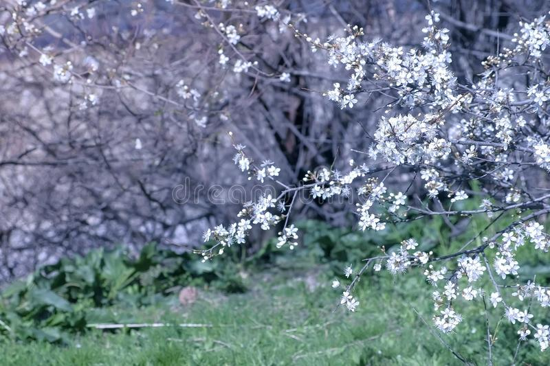 Beautiful nature background with small white flowers cover tree branches and lawn. Beautiful nature background with small white flowers cover tree branches and royalty free stock photography