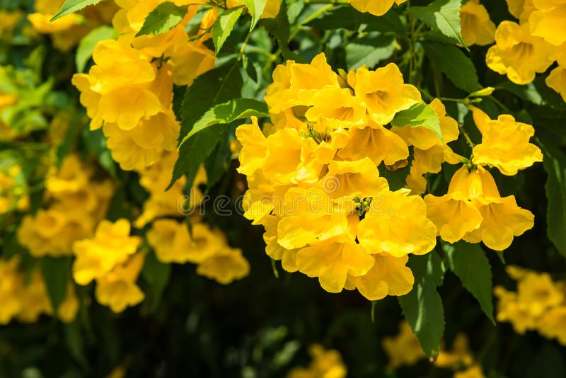 Beautiful nature background in the summer season. Yellow flowers with leaves climbing on the wall in the garden. Beauty nature stock images