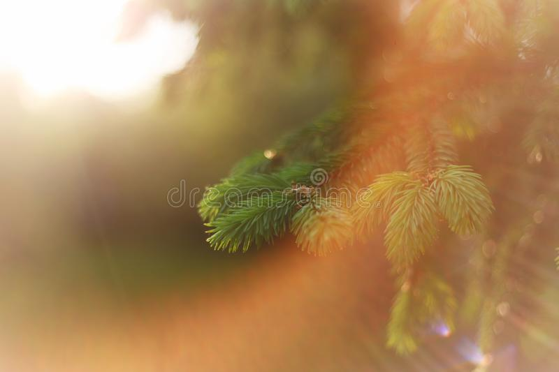 Beautiful nature background. Summer, spring concepts. Copy space. Fluffy fir branches in nature in the rays of the sunset warm sun. Light with beautiful stock photos
