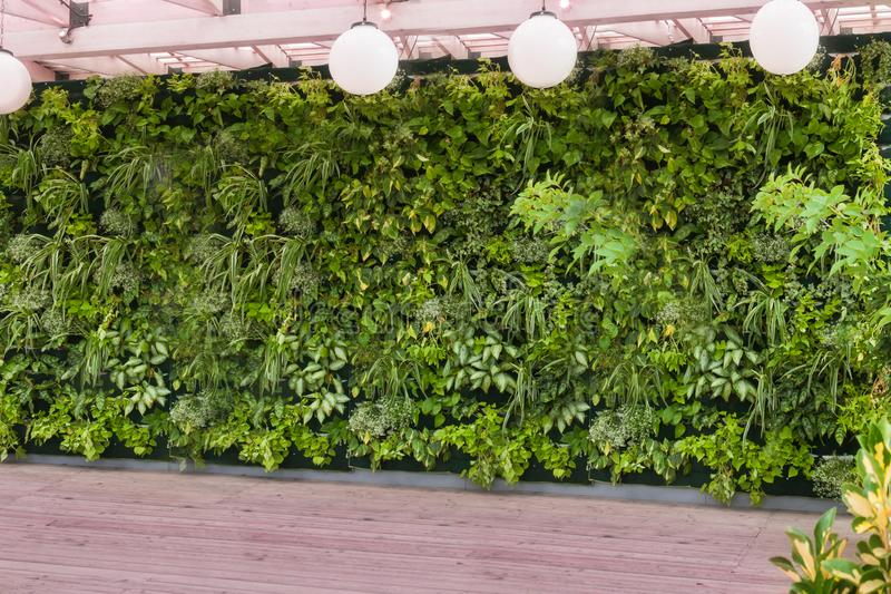 Beautiful nature background of vertical garden with tropical green planting leafs. And white round ceiling lamp and wooden floor royalty free stock images