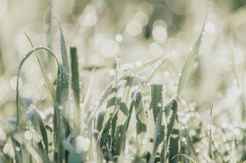 Morning dew on green grass at the natural morning sunlight. Beautiful nature blurred background. Morning dew on green grass at the natural morning sunlight stock photography