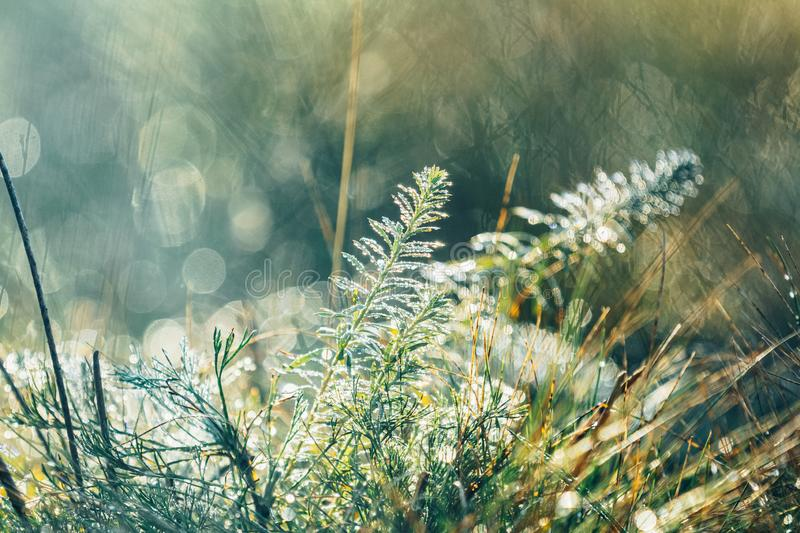 Morning dew on green grass at the natural morning sunlight. Beautiful nature blurred background. Morning dew on green grass at the natural morning sunlight stock photo