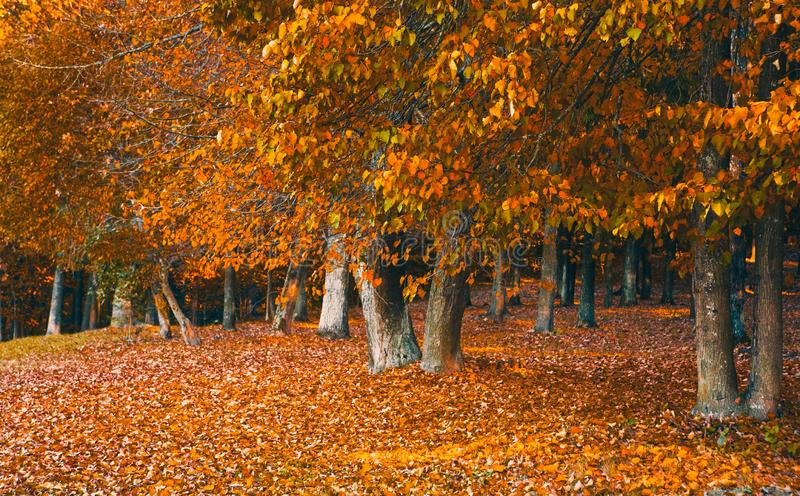 Beautiful Nature Fall landscape, selective focus. Picturesque view of the autumn forest of Deciduous Trees. Old Park in the stock photo