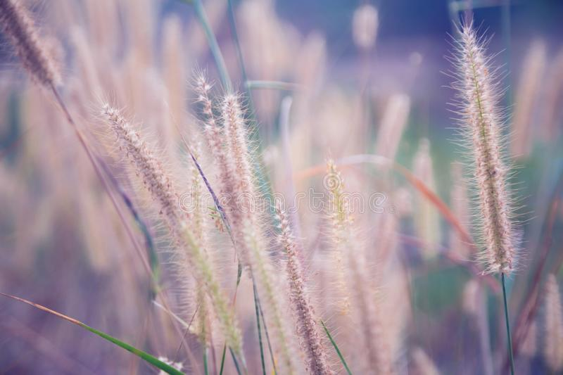 Beautiful nature landscape - Alpine meadow. Grass closeup with sunbeams. Beautiful Nature landscape with sun flare. Vintage Sepia royalty free stock image