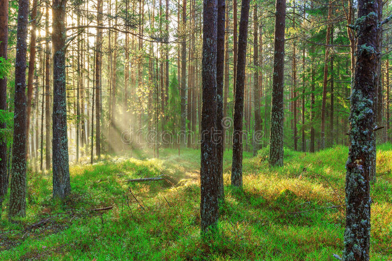Beautiful nature at morning in the misty spring forest with sun rays Magic spring forest with sun rays stock photography